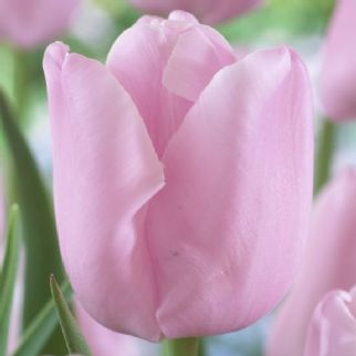 Tulip - Pink Diamond